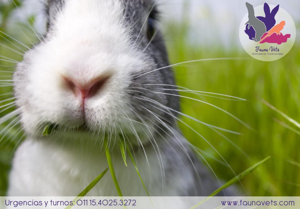 Esterilizar castrar conejo mascota veterinario conejos