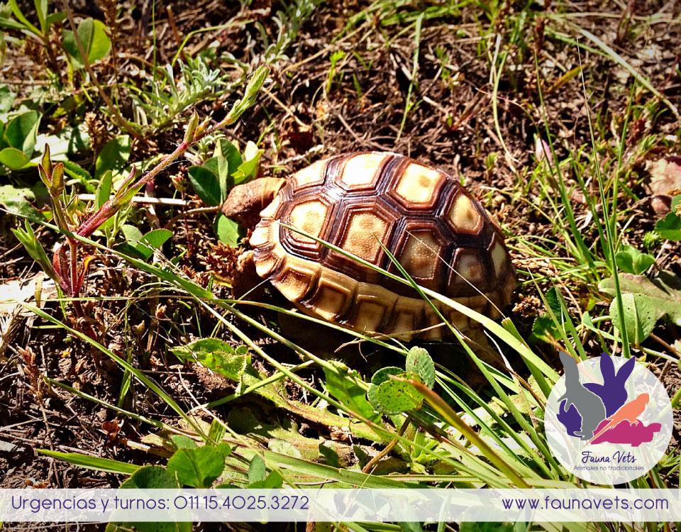 veterinario tortuga - cuidados de la tortuga terrestre