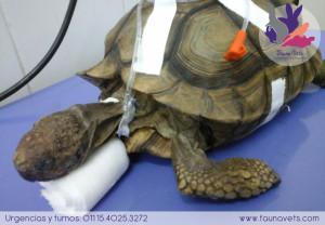 veterinario tortuga exoticos buenos aires