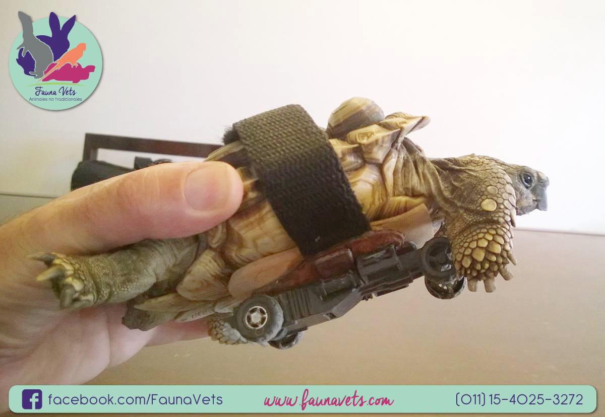 Tortuga con ruedas - paresia miembros - paralisis- veterinario tortugas