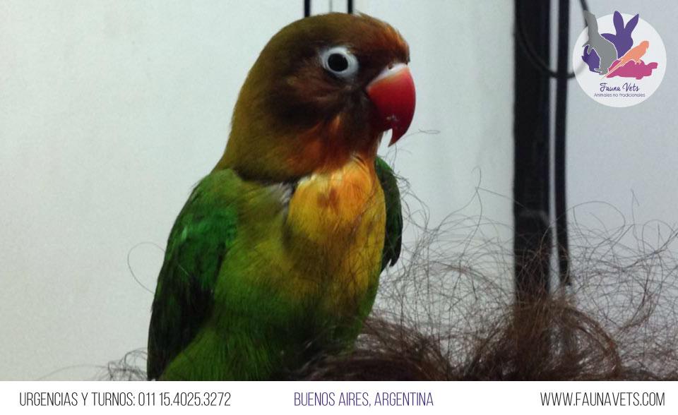 Loro Agapornis con lesion trauma veterinario