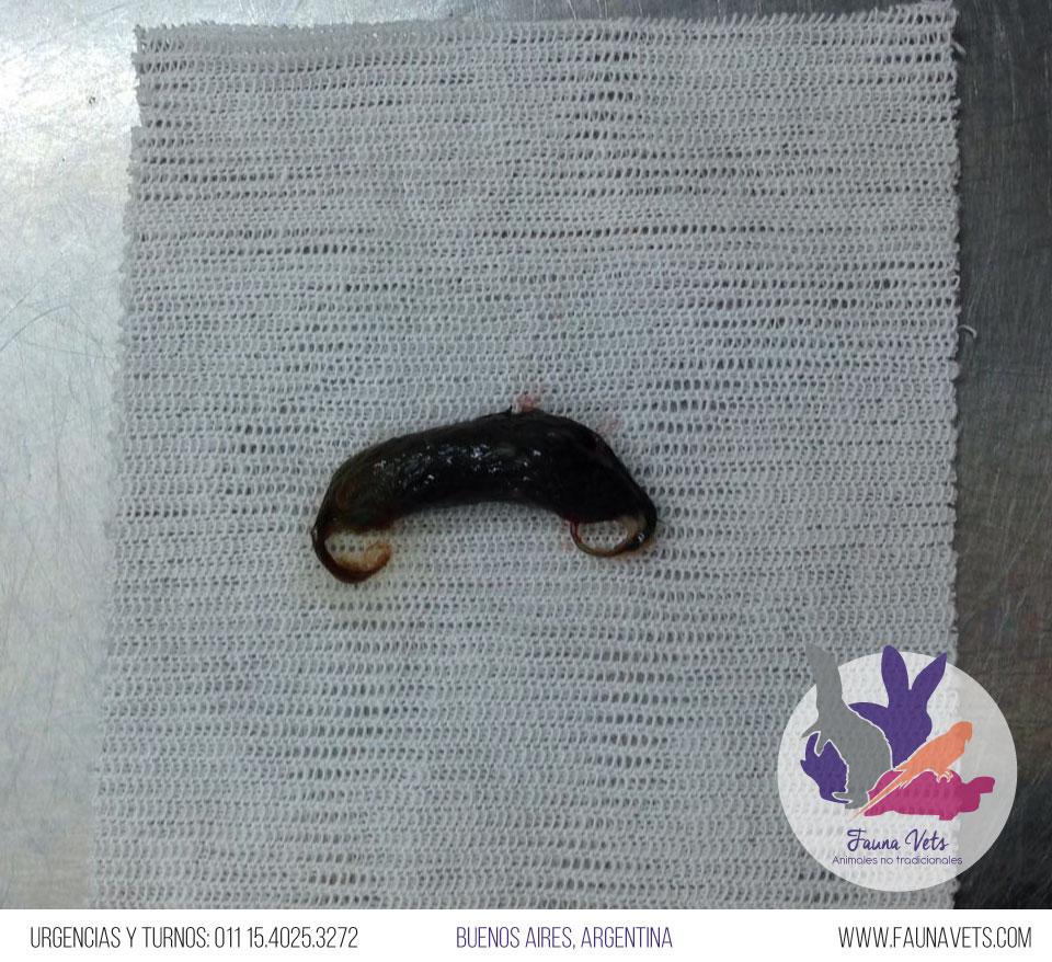 veterinario-hurones-obstruccion-intestinal.