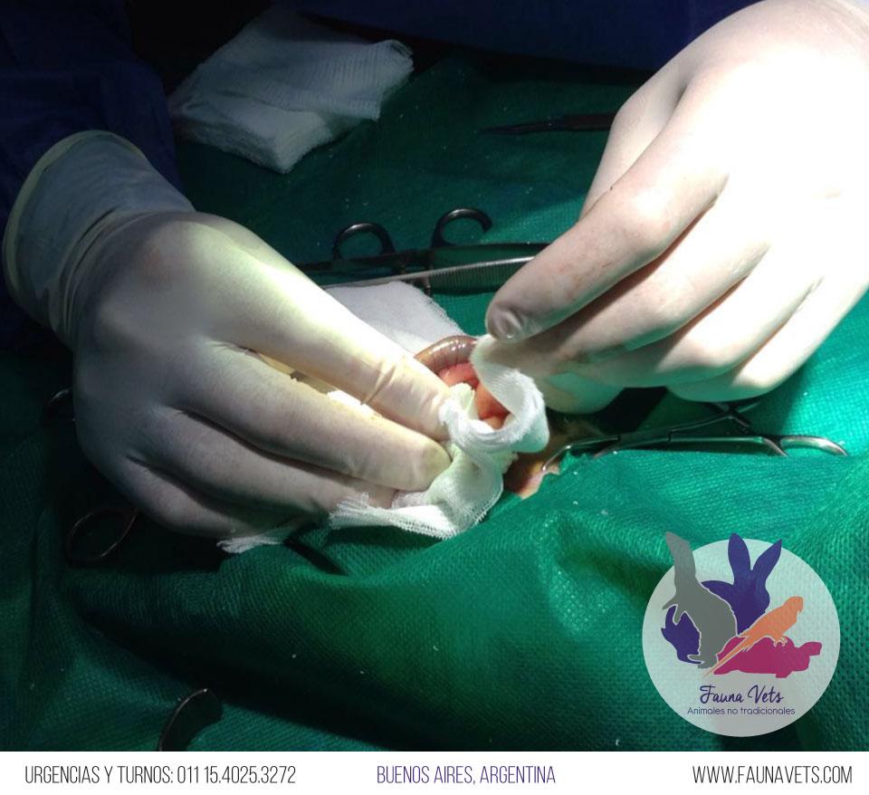 veterinario-hurones-obstruccion-5-intestinal
