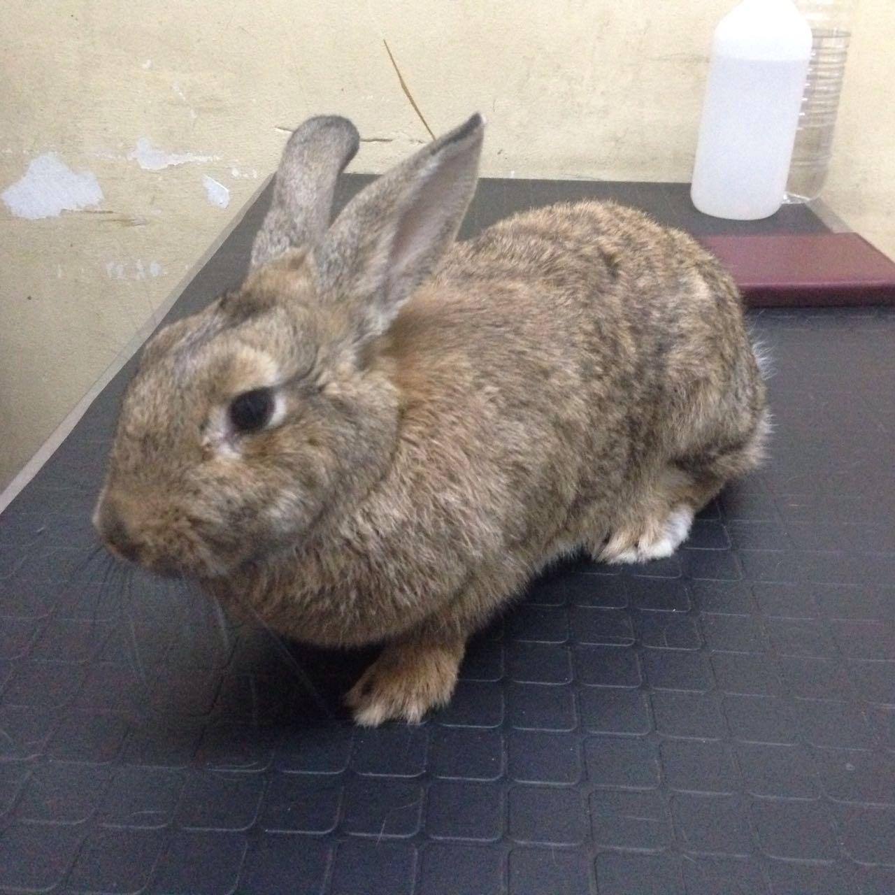 Conejo control veterinario fauna vets exoticos buenos aires