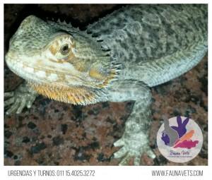 Dragon Barbudo - Enfermedad GOTA - Deformacion en sus patas