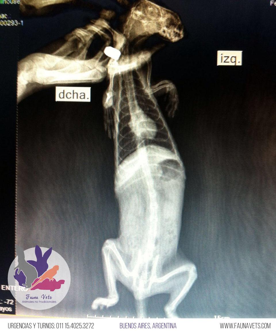 huron-tumor-perdida-pelo-bajo-peso-glandulas-adrenales-7-veterinario