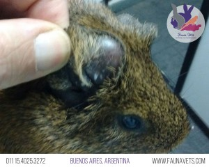 infeccion-en-2-oreja-cobayo-otitis-otohematoma-puncion-infeccion
