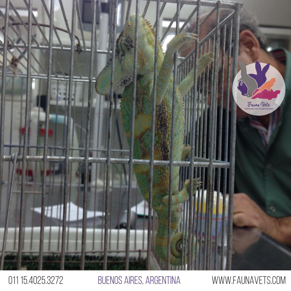 hemipene-4-camaleon-veterinario-enfermo-salud-buenos-aires-exoticos-fauna