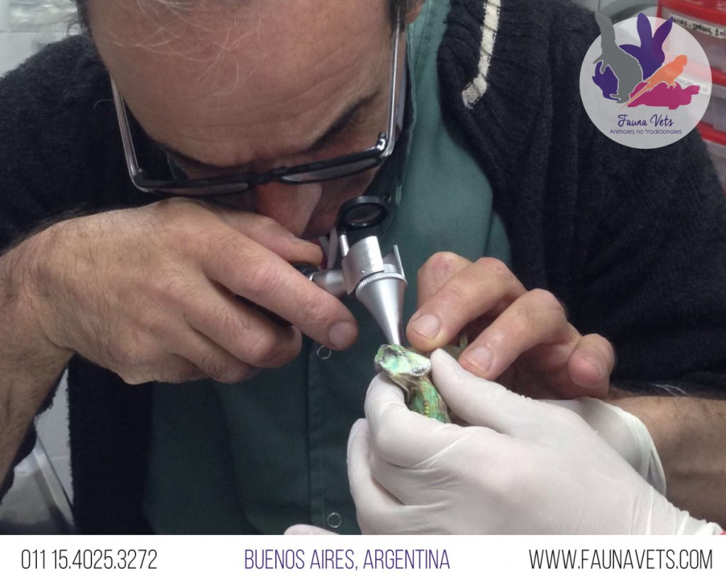 hemipene-camaleon-veterinario-enfermo-salud-buenos-aires-exoticos-fauna