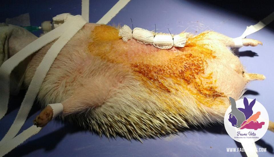 Erizo con tumor en la zona costal, se realiza cirugía,. masa - veterinarios - exoticos