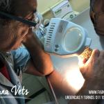 erizo-pigmeo-africano-veterinario-corte-tuerto-exoticos-fernando-pedrosa