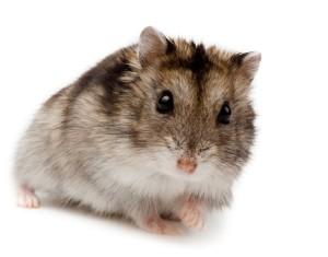 hamster-ruso-dieta-que-comen-veterinario-alimentacion
