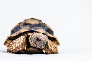 tortuga terrestre argentina- dieta recoemendada-control-veterinarios