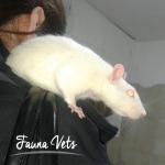 rata-con-masa-en-cuello-veterinario-exoticos-fauna-vets-pedrosa-buenos-aires-avatar