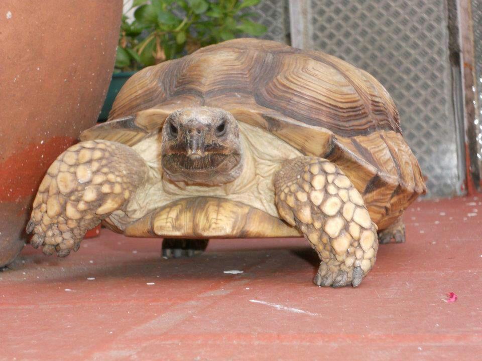 consulta veterinaria tortugas de tierra control huevos retenidos alimentacion