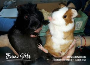 cuidados-cobayo-veterinarios-fauna-vets-buenos-aires-exoticos