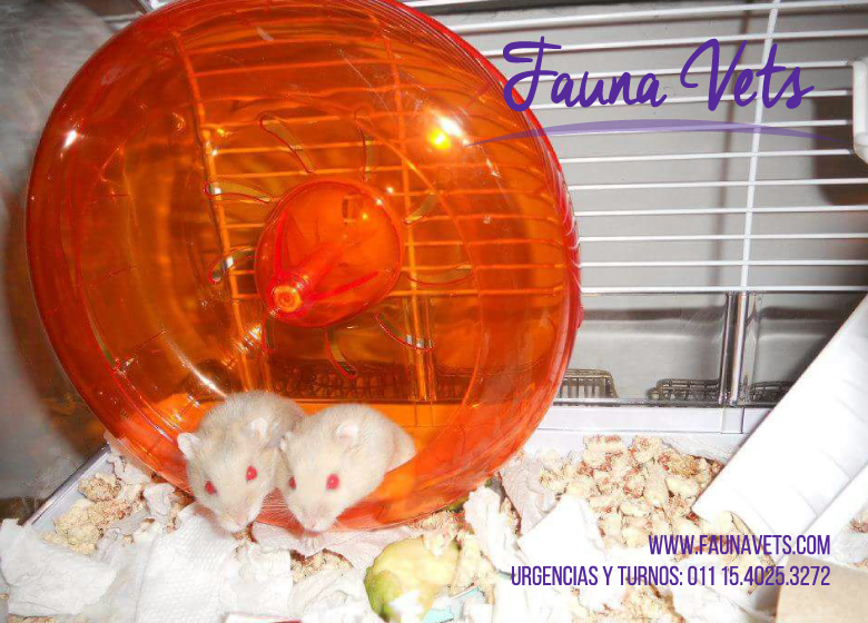 hamsters-rusos-topitos-veterinario-exoticos-capital-federal