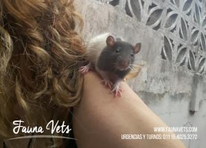 ratas-mascota-ratitas-animales-veterinarios-exoticos-buenos-aires